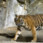 Sumatran_Tiger_Berlin_Tierpark