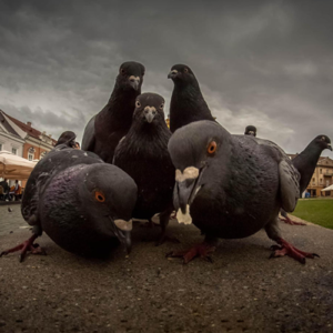rap pigeons
