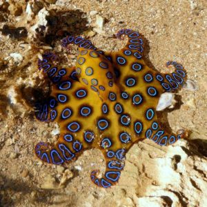 Blue-Ringed-Octopus-Photos