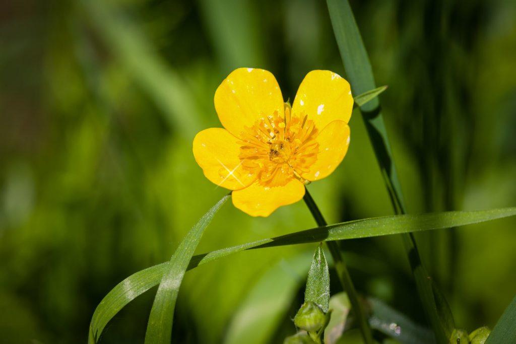 jaskier - flower